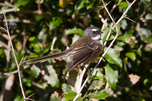 New Zealand Fantail Picture @ Kiwifoto.com