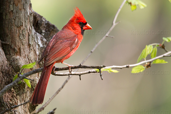 Northern Cardinal @ Maumee Bay State Park, OH