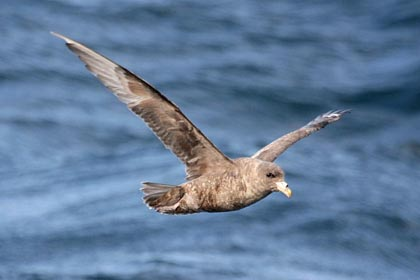 Northern Fulmar Photo @ Kiwifoto.com