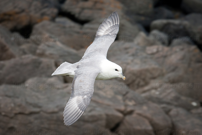 Northern Fulmar Picture @ Kiwifoto.com