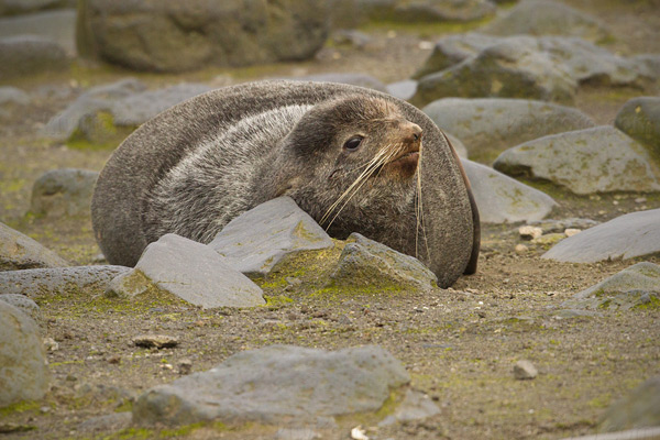 Northern Fur Seal Photo @ Kiwifoto.com