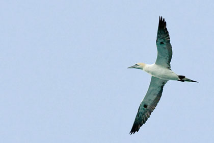Northern Gannet Picture @ Kiwifoto.com