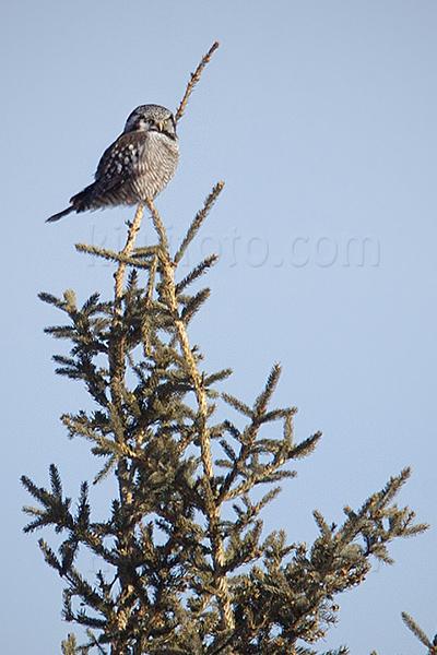 Northern Hawk-owl @ Creamer Field, Fairbanks, AK