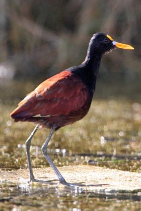 Northern Jacana Picture @ Kiwifoto.com