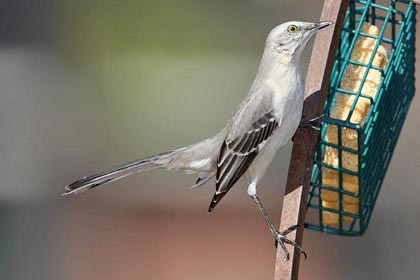 Northern Mockingbird Image @ Kiwifoto.com