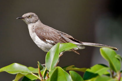 Northern Mockingbird Photo @ Kiwifoto.com