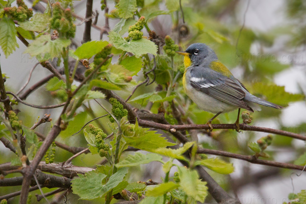 Northern Parula Picture @ Kiwifoto.com