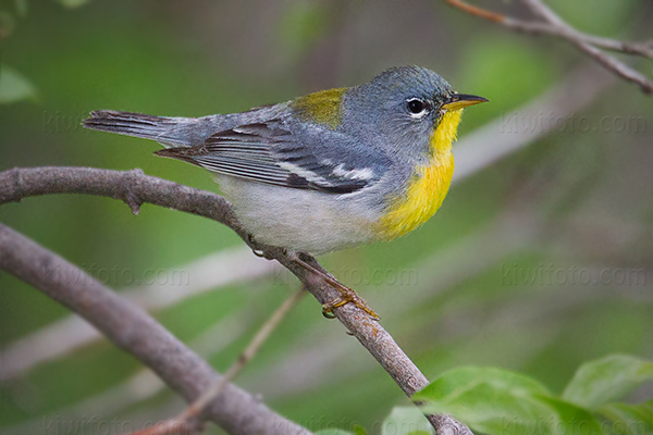 Northern Parula Photo @ Kiwifoto.com