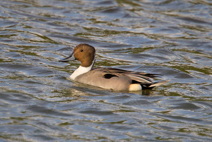 Northern Pintail Image @ Kiwifoto.com