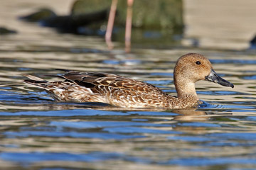 Northern Pintail Picture @ Kiwifoto.com
