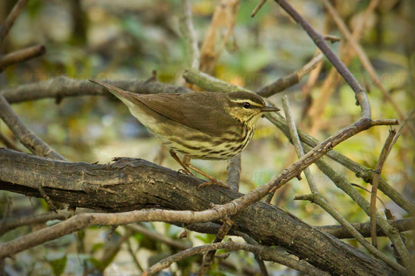 Northern Waterthrush Image @ Kiwifoto.com