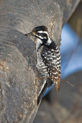 Nuttall's Woodpecker Photo @ Kiwifoto.com