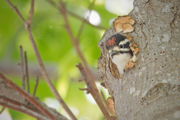 Nuttall's Woodpecker (chick)