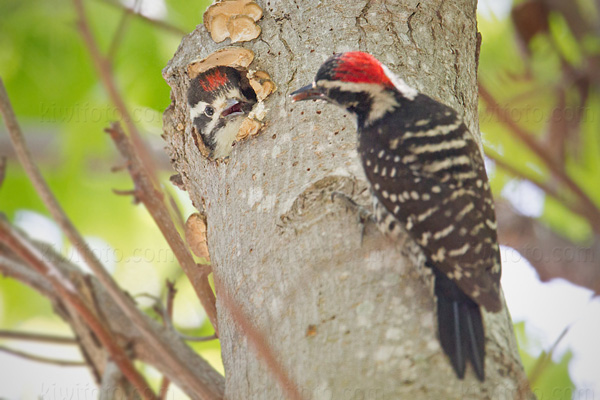 Nuttall's Woodpecker (adult male feeding chick)
