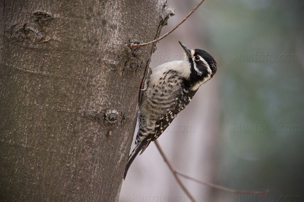 Nuttall's Woodpecker (female)