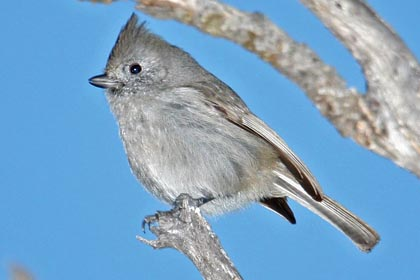 Oak Titmouse Picture @ Kiwifoto.com