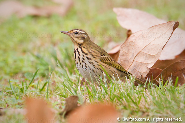 Olive-backed Pipit Picture @ Kiwifoto.com