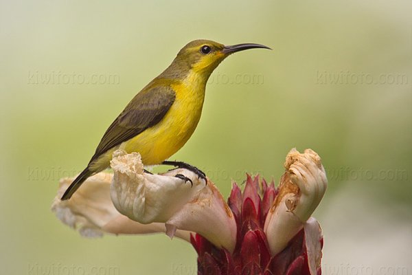 Olive-backed Sunbird Photo @ Kiwifoto.com
