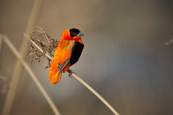 Orange Bishop Image @ Kiwifoto.com