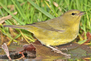 Orange-crowned Warbler Photo @ Kiwifoto.com