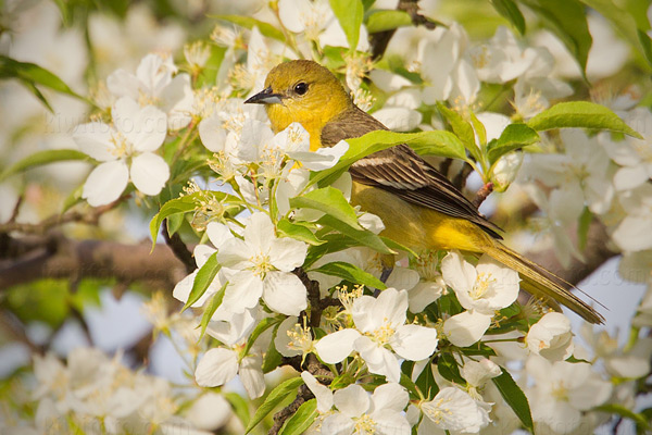 Orchard Oriole Photo @ Kiwifoto.com