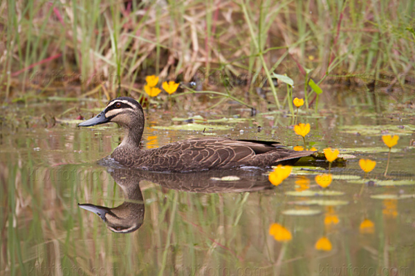 Pacific Black Duck Photo @ Kiwifoto.com
