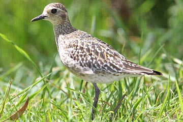 Pacific Golden-Plover Picture @ Kiwifoto.com