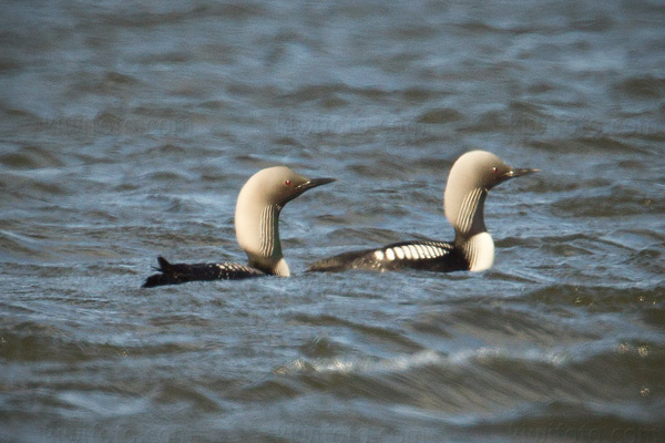 Pacific Loon Picture @ Kiwifoto.com