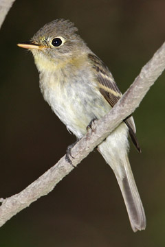 Pacific-slope Flycatcher Image @ Kiwifoto.com