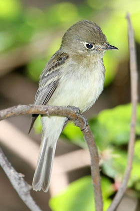Pacific-slope Flycatcher Photo @ Kiwifoto.com