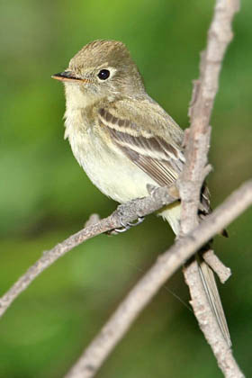 Pacific-slope Flycatcher Picture @ Kiwifoto.com