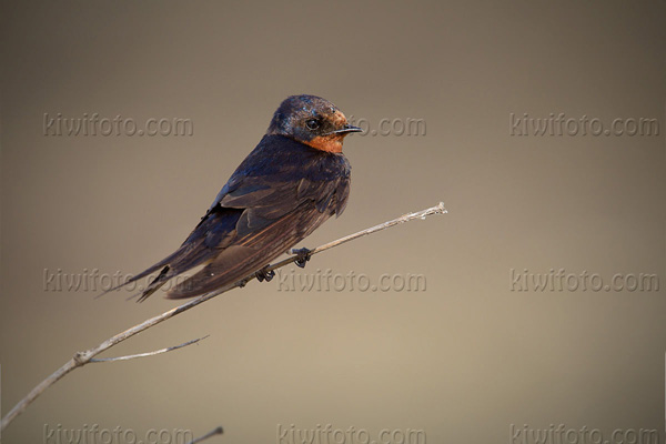 Pacific Swallow Photo @ Kiwifoto.com