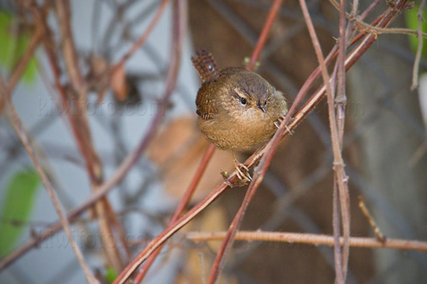Pacific Wren Photo @ Kiwifoto.com