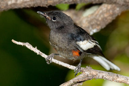 Painted Redstart (juvenile)