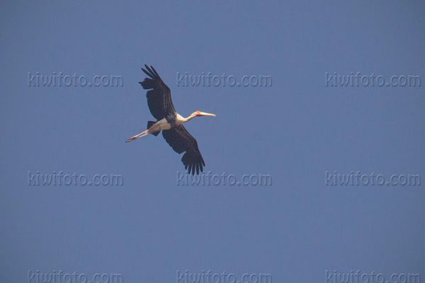 Painted Stork Picture @ Kiwifoto.com