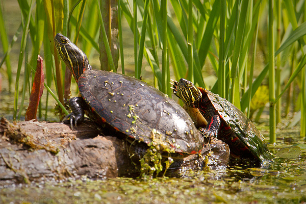 Painted Turtle Image @ Kiwifoto.com