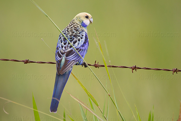 Pale-headed Rosella Picture @ Kiwifoto.com