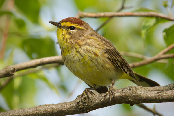 Palm Warbler Photo @ Kiwifoto.com