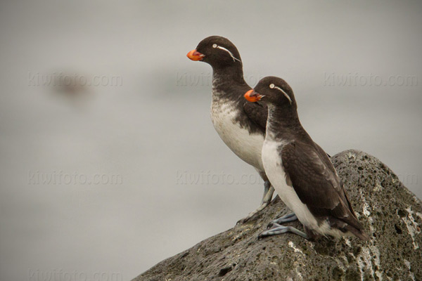Parakeet Auklet Photo @ Kiwifoto.com