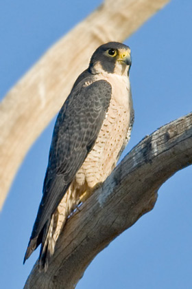 Peregrine Falcon Photo @ Kiwifoto.com