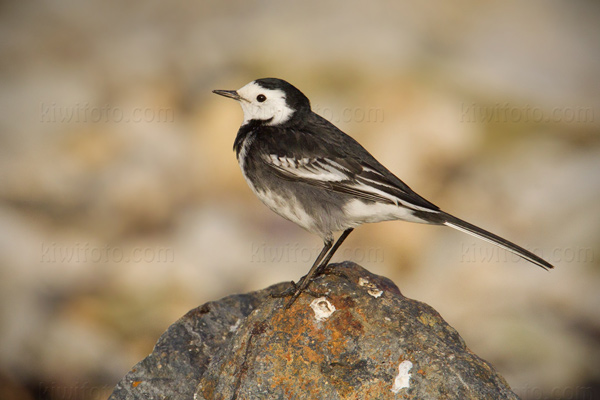 Pied Wagtail Photo @ Kiwifoto.com