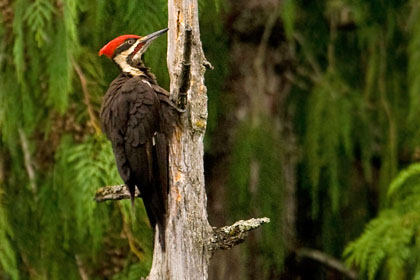 Pileated Woodpecker Image @ Kiwifoto.com