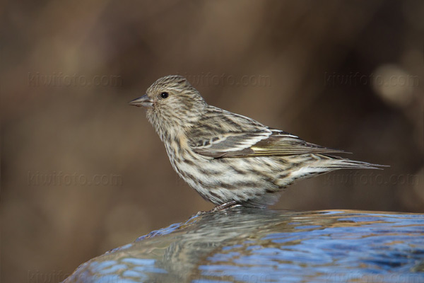 Pine Siskin Photo @ Kiwifoto.com