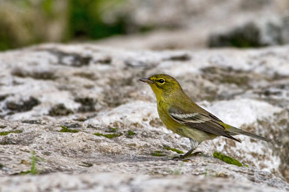 Pine Warbler Photo @ Kiwifoto.com