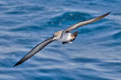 Pink-footed Shearwater Image @ Kiwifoto.com