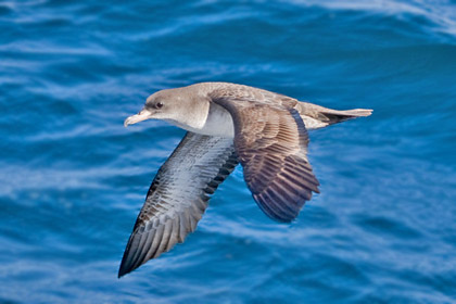 Pink-footed Shearwater Photo @ Kiwifoto.com