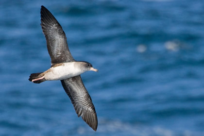Pink-footed Shearwater Picture @ Kiwifoto.com