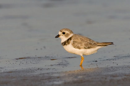 Piping Plover Photo @ Kiwifoto.com