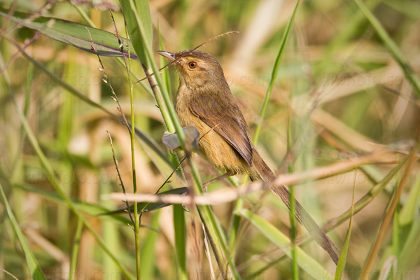 Plain Prinia Photo @ Kiwifoto.com