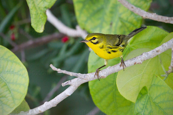 Prairie Warbler Photo @ Kiwifoto.com
